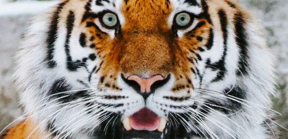 Con occhi di tigre